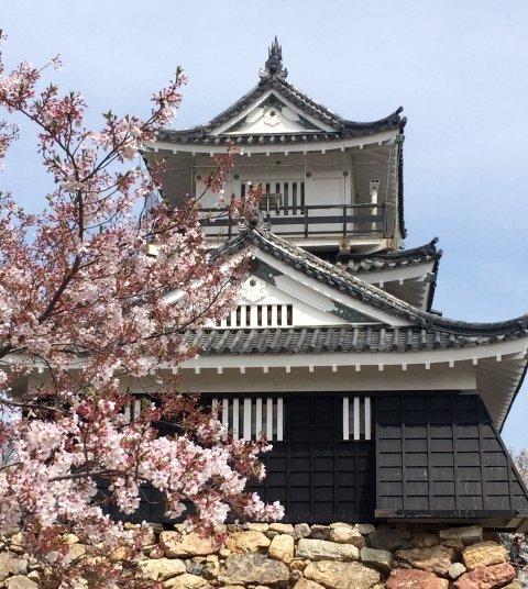 浜松城サクラ桜