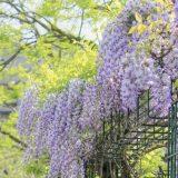 熊野の長藤まつり 4月下旬~5月上旬【磐田市行興寺】